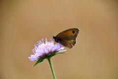 Бабочка на фиолетовом wildflower Стоковое Фото