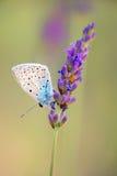 Бабочка на французской лаванде Стоковое Изображение