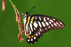 Бабочка на хворостине, черной Стоковая Фотография RF