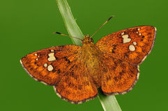 Бабочка на хворостине, Pseudocoladenia dan Стоковое Фото