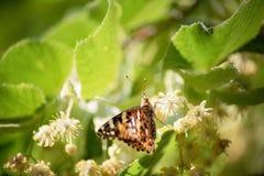 бабочка на цветении липы нашествие бабочки Крупный план одиночных инвазионных xanthomelas многоцветницы завода вида в Украине стоковая фотография