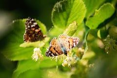 бабочка на цветении липы нашествие бабочки Крупный план одиночных инвазионных xanthomelas многоцветницы завода вида в Украине стоковое изображение