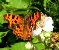 Бабочка на цветении Стоковое Фото