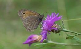 Бабочка на цветени thistle на луге лета Стоковое Изображение RF