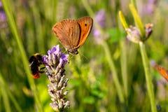 Бабочка на цветках лаванды Стоковое Изображение RF