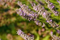 Бабочка на цветках лаванды Стоковые Фотографии RF