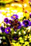 Бабочка на цветках осени Стоковые Изображения RF