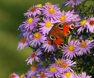 Бабочка на цветках Стоковое Изображение