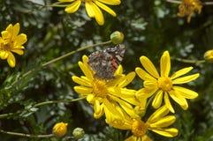 Бабочка на цветках Стоковая Фотография RF