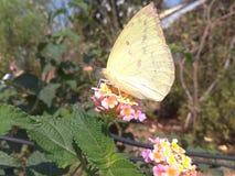 Бабочка на цветках Стоковое Фото