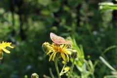 Бабочка на цветках Стоковые Фото