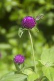 Бабочка на цветке амаранта Стоковые Изображения RF