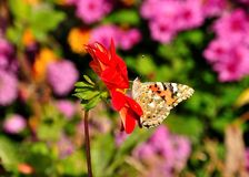 Бабочка на цветке георгина карлика Стоковые Изображения RF