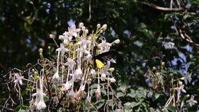 Бабочка на цветке дерева пробочки видеоматериал