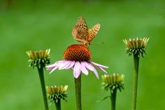 Бабочка на цветке конуса Стоковая Фотография