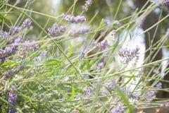 Бабочка на цветке лаванды стоковые фото