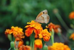 Бабочка на цветке на зеленой предпосылке Стоковое Изображение