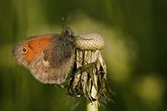 Бабочка на цветке одуванчика Стоковые Фото