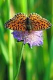 Бабочка на цветке Стоковая Фотография RF