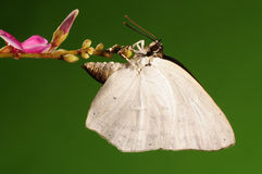 Бабочка на цветке, acuta Curetis Стоковое Фото