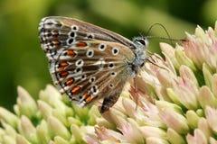 Бабочка на цветковом растении Стоковое фото RF