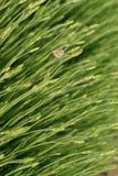 Бабочка на черенок лаванды Стоковая Фотография RF