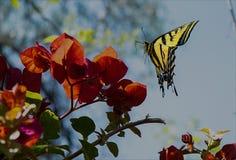 Бабочка на Bouganvillea стоковая фотография rf