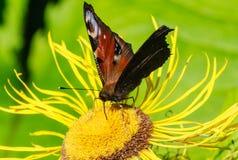 Бабочка на inula цветка поле глубины отмелое Стоковое Изображение RF