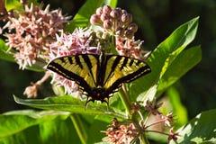 Бабочка на Milkweed стоковое изображение rf