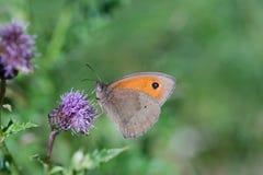 Бабочка на Thistle Стоковое Фото