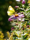 Бабочка на wildflower Стоковая Фотография