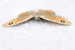 Бабочка нимфалиды Стоковое фото RF