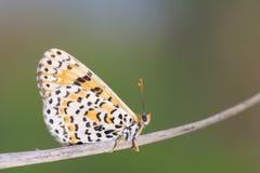 Бабочка нимфалиды Стоковая Фотография RF