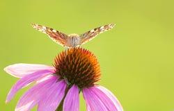 Бабочка нимфалиды Стоковые Фото