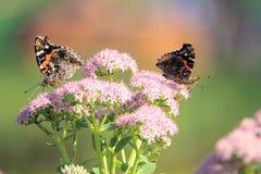 Бабочка нимфалиды Стоковые Изображения RF