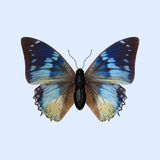 Бабочка нимфалиды - Charaxes Smaragdalis Стоковые Фото