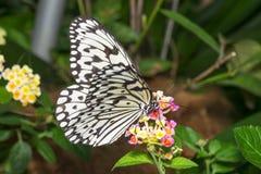 Бабочка нимфы дерева стоковые фотографии rf