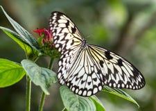Бабочка нимфы дерева на цветке Стоковая Фотография RF