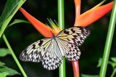 Бабочка нимфы дерева на шведском столе бабочки Стоковая Фотография RF