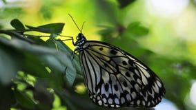 Бабочка нимфы дерева Цейлона Стоковое Изображение