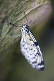 Бабочка нимфы дерева Стоковая Фотография