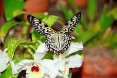 Бабочка нимфы дерева Стоковое фото RF