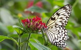 Бабочка нимфы дерева Malabar на цветке Стоковая Фотография