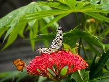 Бабочка нимфы также известная как бабочка рисовой бумаги Стоковое Изображение