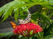 Бабочка нимфы также известная как бабочка рисовой бумаги Стоковые Изображения RF