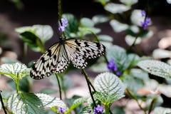 бабочка нимфы Стоковое фото RF