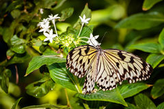 бабочка нимфы Стоковое Изображение