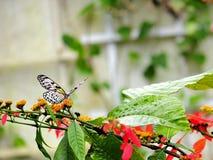 Бабочка нимфы CeylonTree, Флорида Стоковое Изображение RF