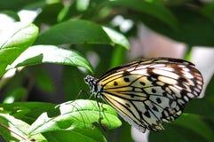 Бабочка нимфы CeylonTree Стоковые Фото