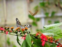 Бабочка нимфы CeylonTree Стоковое Фото